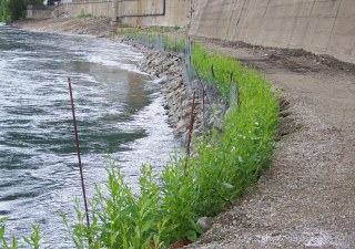 First growing season vegetated riprap application riverbank restoration project