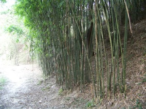 Farmed bamboo stand