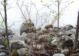 Vegetated rip rap in natural setting, shoreline of Kootenay Lake, British Columbia